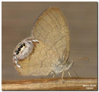 Gemmed Satyr Butterfly (Cyllopsis gemma)