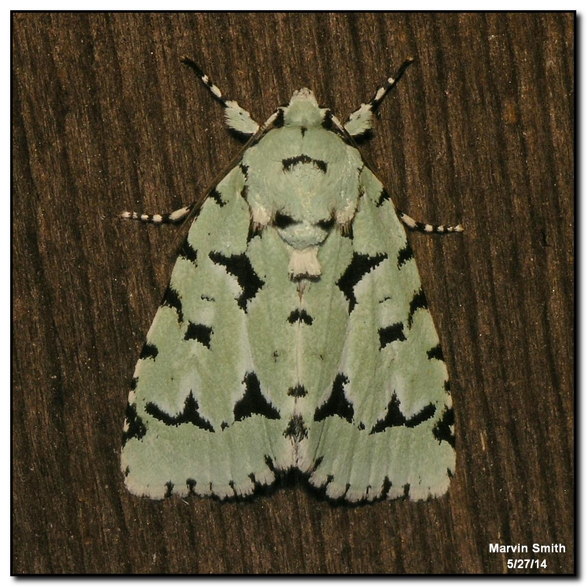 Green Marvel Moth (Acronicta fallax - 9281)