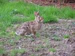 I was happy to see a Rabbit visiting my yard on Easter Morning.