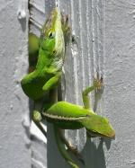 The Carolina anole (Anolis carolinensis) is an arboreal lizard found primarily in the southeaster...