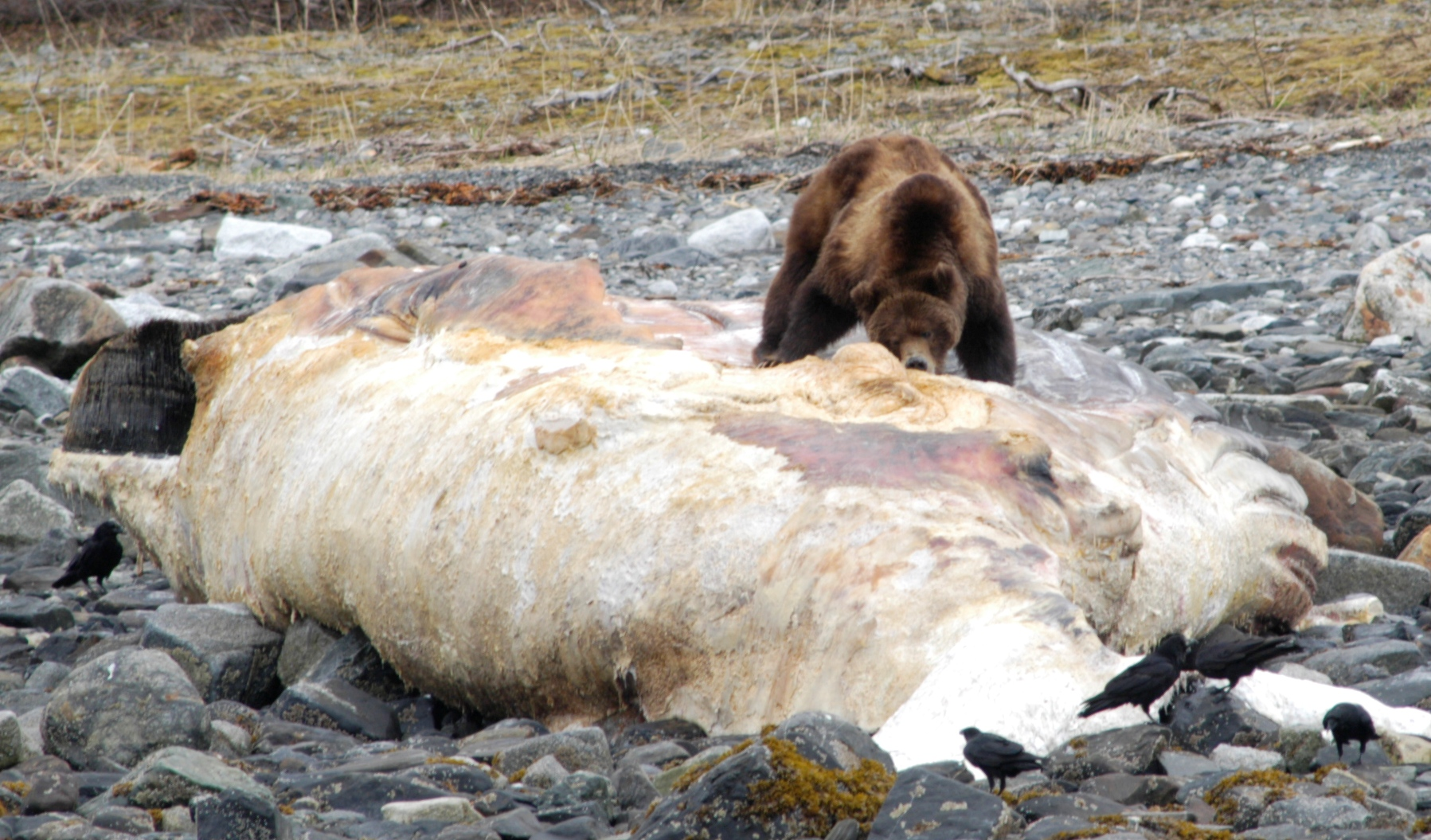 Brown bear and dead humpback whale