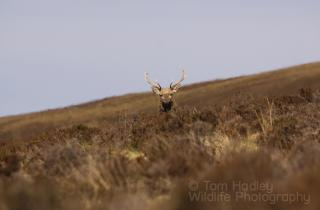 Stalking Red Deer, but spotted!