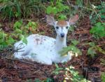 Piebald Whitetail Deer