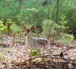 Whitetail Deer (Piebald)