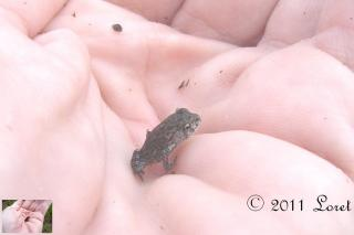 The tinest toad....Oak Toad