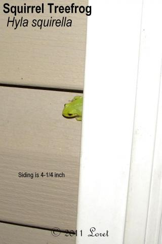 Tiny squirrel treefrog! the siding is only 4-1/4 inch.