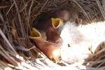 My bluebirds hatched beginning on March 17 (4) and the last on the 18th for a total of 5.  This p...