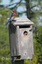 The 5 bluebirds fledged!  Dad provides the last supper!  I got to see 4 of the 5 bluebirds fled...