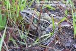 Southern Leopard Frog (Rana sphenocephala utricularia)