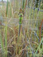 Common Green Darner Dragonfly (Anax junius)