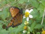 Another prolific butterfly day in my yard.  New today was this lovely Queen.