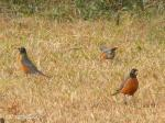 I looked out in my front yard to see a dozen or more Robins hopping around feasting on what natur...