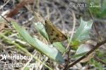 Whirlabout (Polites vibex) one of the Skipper Butterflies Family: Hesperiidae  Subfamily: Hespe...
