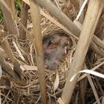 Red-Winged Blackbird Nestlings