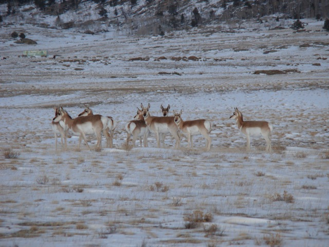 Pronghorns Galore