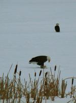 A wonderful welcome to the lake. A eagle (they come here for the winter) eating a fish, with what...