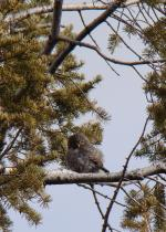 This little guy (with a strangely thin tail for an owl) was calling from the tree tops. I couldn'...