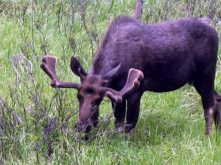 Bullwinkle in the Rockies