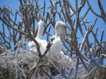 Brown Pelican Chicks