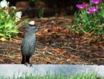 We have these birds year-round. Notice the crown is standing up - he is displaying during mating ...