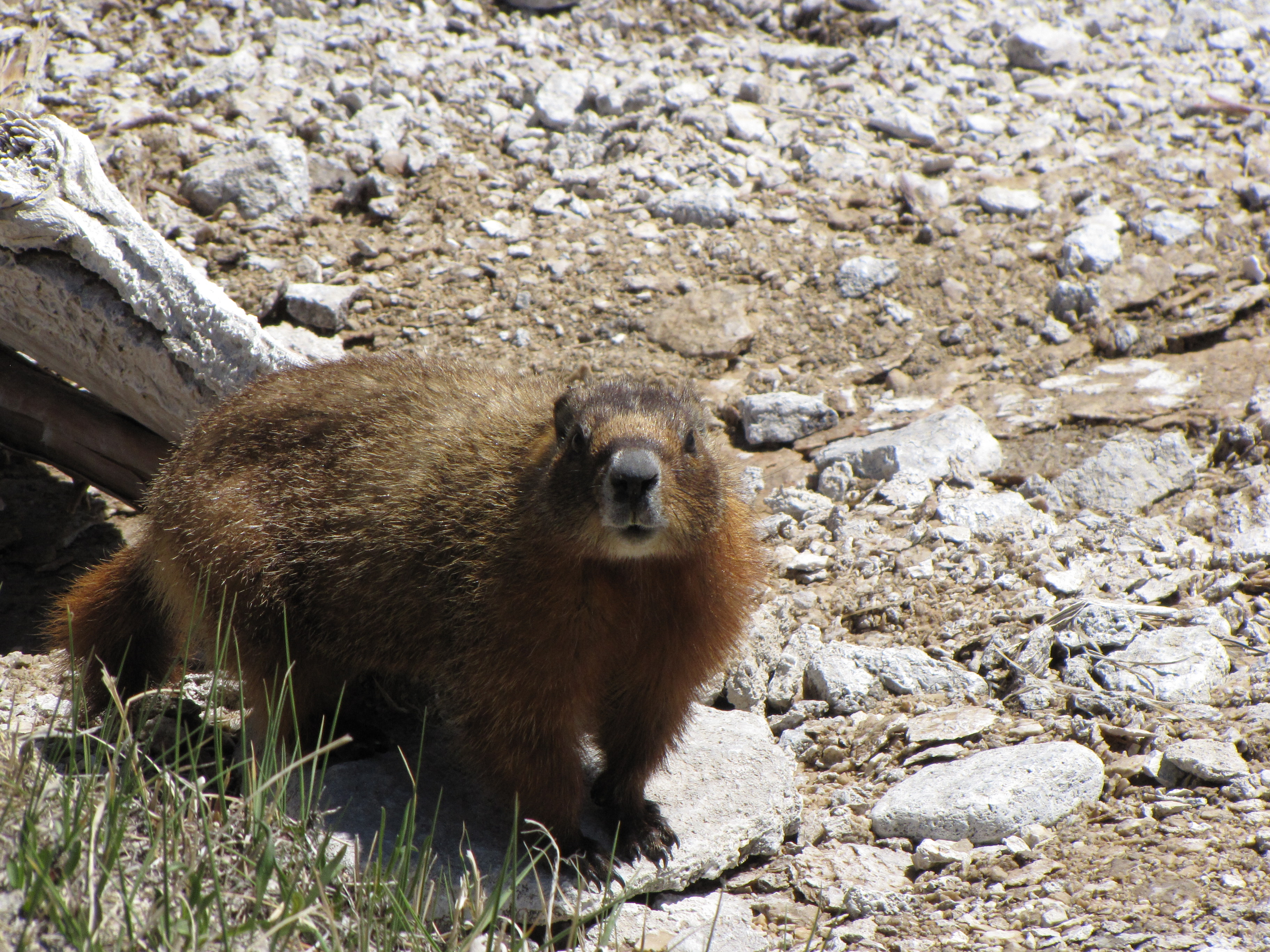 While walking around the geysers at the Old Faithful Inn in Yellowstone NP, I spotted a number of...