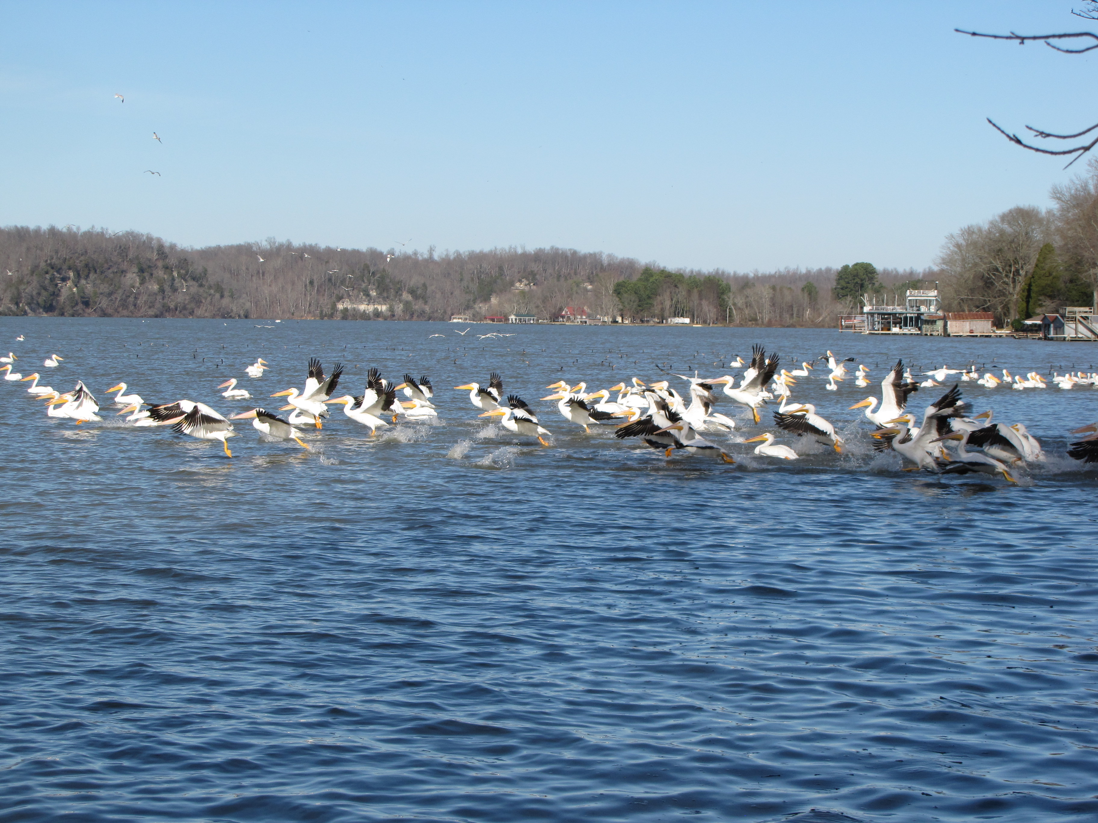 American White Pelicans started spending their winters on the Elk River, near Rogersville, Alabam...