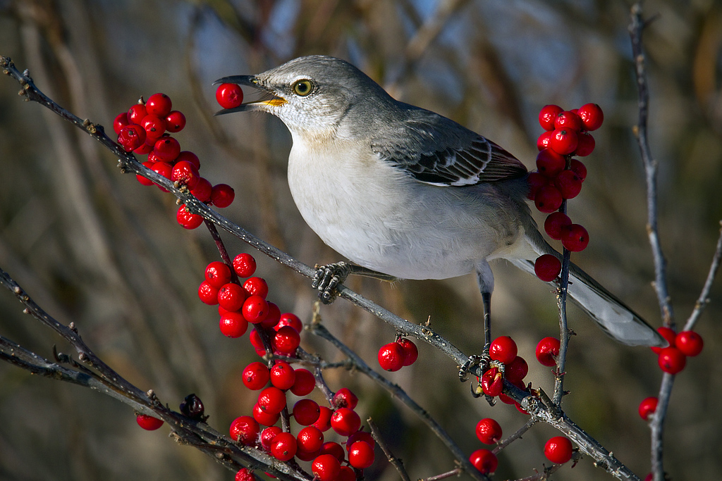 Mockingbird eating red berries