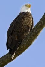 This is one of the parents of the 3 eagles born in 2009 in Princeton, NJ. I hadn't seen either pa...