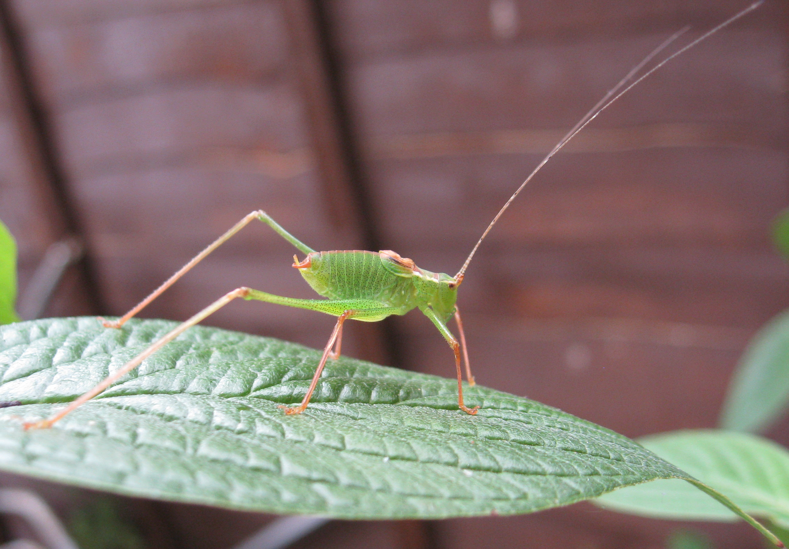 Katydid?