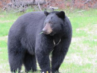 Black bear in the yard.