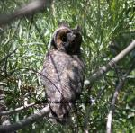 http://mrsroadrunner.com/long-eared-owl-oregon-wildlife-photos