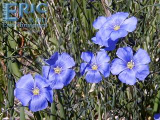Western Blue Flax at Wonderland Creek