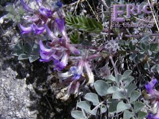 Woolly Locoweed at Walker Ranch