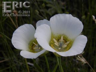 Mariposa Lily at Caribou Ranch