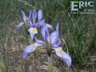 Wild Iris in the Meadow