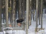 The garden is covered with snow right now, but I can see this moose imagining what tasty morsels ...