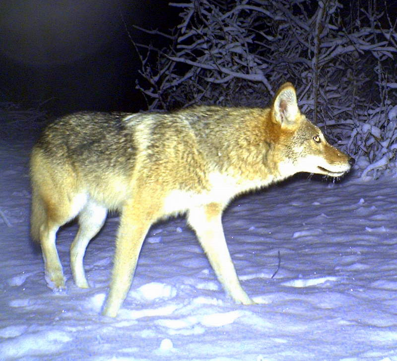 a young female coyote