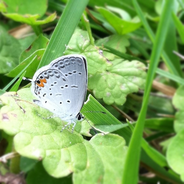 Eastern Tailed Blue-rangerous-201106240519.jpg