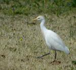 this small white heron is more at home foraging in grass than in water. It follows cattle, horses...