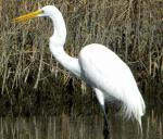 Great Egrets can live over 20 years and are found all over the world.  The Great Egret is also be...