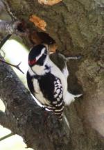 A male Downy Woodpecker checking out a tree cavity that had been made the previous summer
